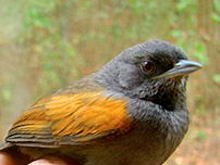 Blackish-headed Spinetail
