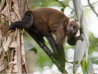 A curious monkey climbing trees Tambopata National Resera.