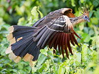 Al Shansho, known as 'Chicken punk' bird flies over the trees of Tambopata.