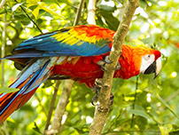 Scarlet macaw: Symbol of the Peruvian Amazon. It plumage has captivated the world.