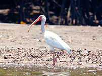 Birdwatching at the Mangroves of Tumbes National Sanctuary - 2014.