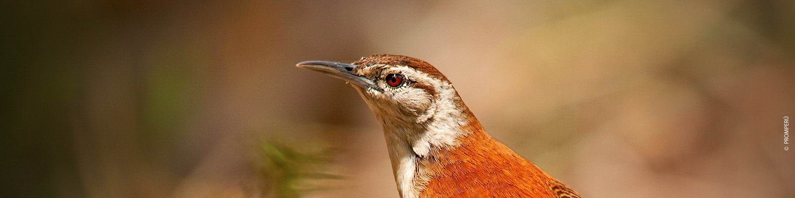 Birdwatching superciliated wren