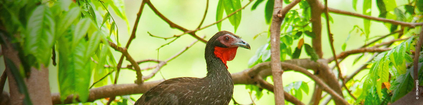 Birdwatching white winged guan
